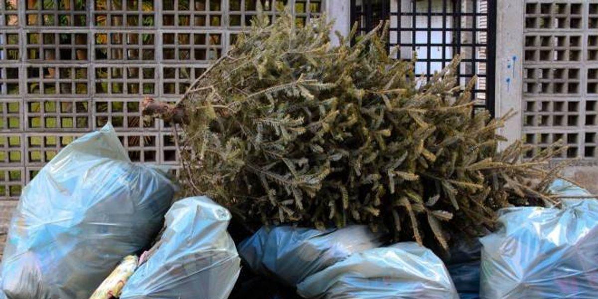 Árboles vivos para Navidad