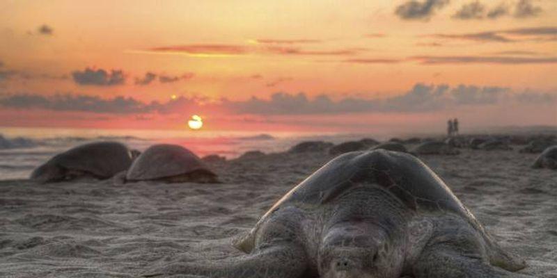 Arriban tortugas lora a la costa de Tamaulipas - VeoVerde