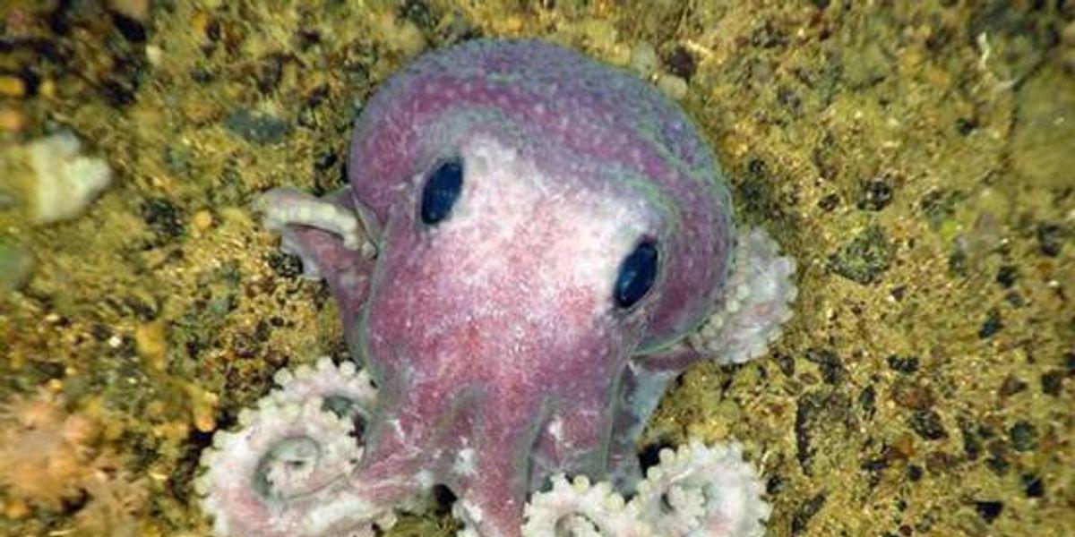 Animales extraños del 2010: Un nuevo Pulpo púrpura