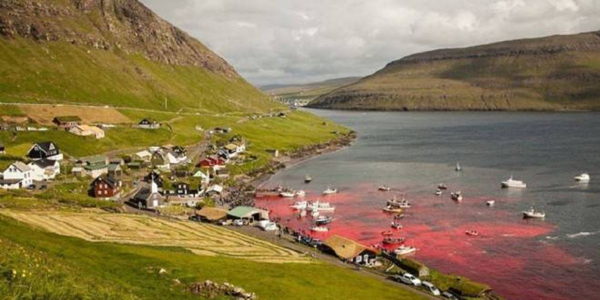 Sea Shepherd denuncia nueva matanza de ballenas en Islas Faroe