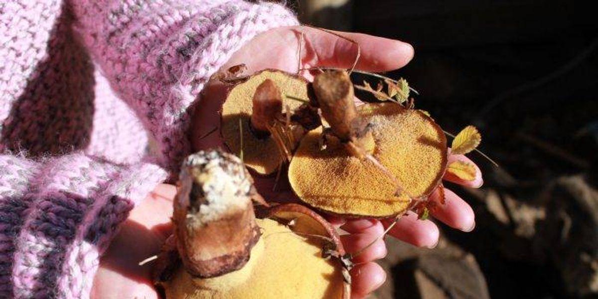 Así será Hongustock, el festival de hongos más austral de Chile