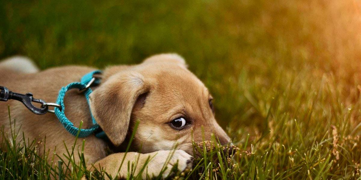 Satiriasis: el excesivo apetito sexual en perros
