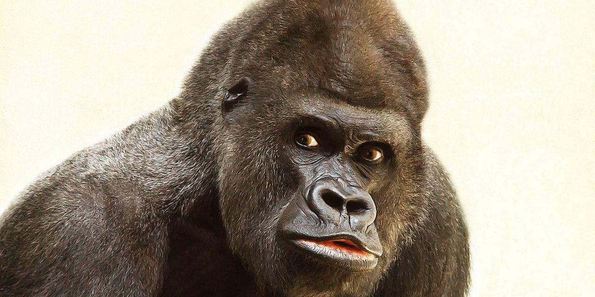 FOTO: gorilas que posan como humanos se convierten en la sensación de Internet