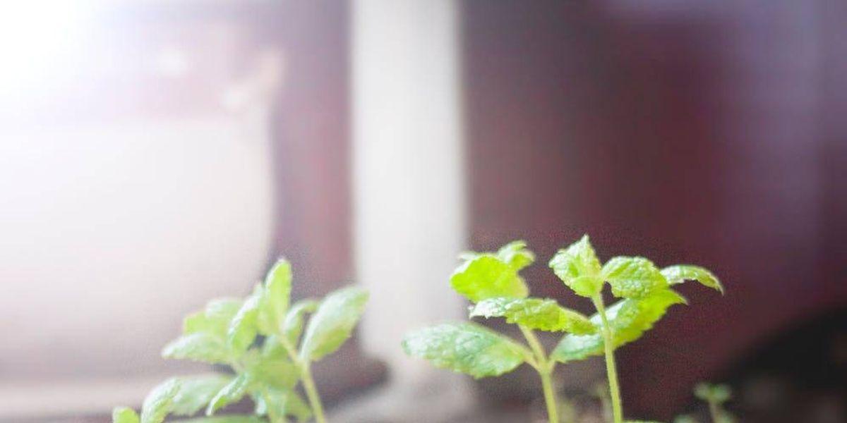 Reduce las celulitis y baja de peso con orégano